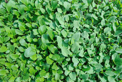 gröna grönsaker arkivbilder