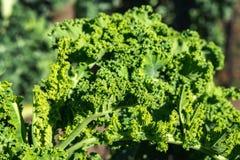Gröna grönsaksidor, sunt äta, vegetarisk mat Stäng sig upp av den gröna växten för lockig grönkål i en grönsakträdgård fotografering för bildbyråer