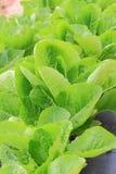Gröna grönsallater Royaltyfri Fotografi