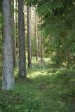 Gröna granträd och sörjer i skogen av Lettland Arkivbilder