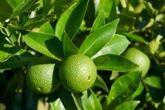 Gröna grapefrukter Arkivfoton