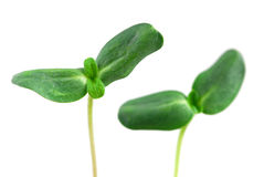 gröna groddar arkivfoton