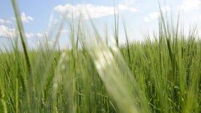 Gröna groddar av ungt vete på solnedgången Stäng sig upp av grönt nytt gräs på äng Växa för veteskördar på ett jordbruks- fält lager videofilmer