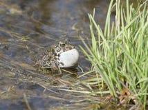 Gröna grodor för manlig som sjunger i fjädradamm. Royaltyfria Foton