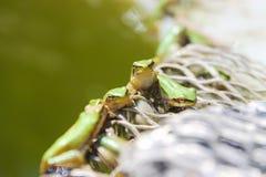 Gröna grodor i sjön Royaltyfria Foton