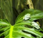 Gröna grodor på en tjänstledighet Fotografering för Bildbyråer