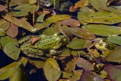 Gröna grodor som sitter i ett damm på en vattenväxt, spricker ut Royaltyfria Foton
