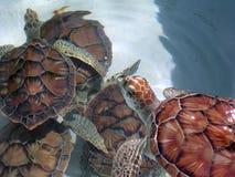 gröna grupphavssköldpaddor Arkivfoton