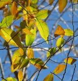 Gröna guld- sidor och gul höstbakgrund Royaltyfri Fotografi