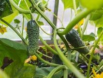 Gröna gurkor växer på sängen i växthuset royaltyfri foto