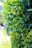Gröna häckväxter, blomningväxt, staket med växter Arkivbilder