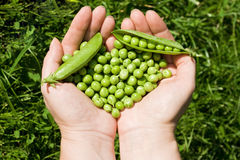 gröna händer som rymmer kvinnan för ärtor s royaltyfria foton