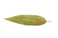 Gröna hösttjänstledigheter för singel som isoleras på vit Arkivfoton