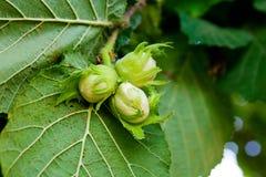Gröna hasselnötter växer på trädet Royaltyfri Bild