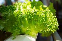 Gröna hydrokulturgrönsaker Arkivbild