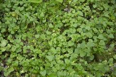 Gröna indiankrassesidor i en äng Royaltyfria Bilder