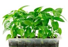 gröna isolerade leaves för droppar royaltyfri fotografi