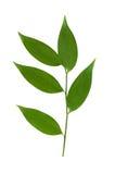 gröna isolerade leaves för filial Arkivfoton