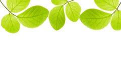 gröna isolerade leaves för ram Fotografering för Bildbyråer