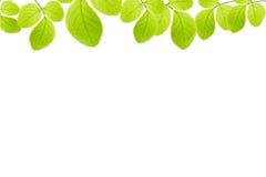 gröna isolerade leaves för ram Royaltyfri Fotografi