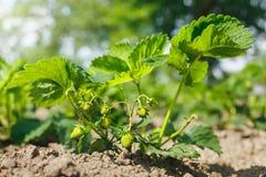 Gröna jordgubbar på Bush Arkivfoto