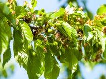 Gröna körsbär på det körsbärsröda trädet i vår Royaltyfri Foto