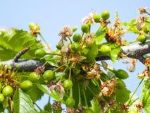 Gröna körsbär på det körsbärsröda trädet i vår Royaltyfri Fotografi