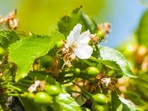 Gröna körsbär på det körsbärsröda trädet i vår Royaltyfria Bilder
