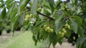 Gröna körsbär på ett körsbärsrött träd lager videofilmer