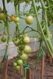 Gröna körsbärsröda tomater på en filial på en säng i ett växthus Royaltyfria Bilder
