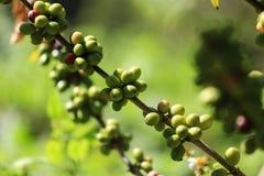 Gröna kaffebönor på en filial av kaffeträdet i kaffe Plantati arkivfoto