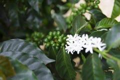 Gröna kaffebönor på filial royaltyfri fotografi