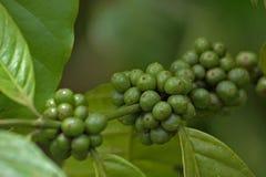 Gröna kaffebönor på kaffeväxten Royaltyfria Bilder