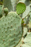 Gröna kaktusfält Fotografering för Bildbyråer