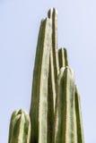 Gröna kaktusfält Arkivfoto