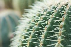 Gröna kaktustaggar i kaktuns graden Royaltyfri Bild