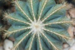 Gröna kaktustaggar i kaktuns graden Royaltyfria Bilder