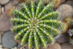 Gröna kaktustaggar i kaktusträdgården Arkivbild