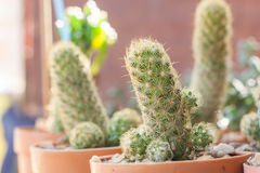 Gröna kaktustaggar i kaktusträdgården Royaltyfria Bilder