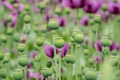 Gröna kapslar för opiumvallmo, den purpurfärgade vallmo blomstrar i ett fält arkivbilder