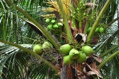 Gröna kokosnötgrupper Royaltyfri Foto