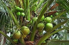 Gröna kokosnötgrupper Arkivbild