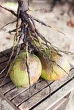 Gröna kokosnötter för nytt barn på stranden Arkivbild