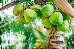 Gröna kokosnötter på palmträdet Arkivfoton