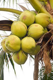 Gröna kokosnötter på träd Royaltyfri Foto
