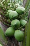 Gröna kokosnötter som hänger på palmträdet Royaltyfri Foto