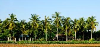 Gröna kokospalmer Arkivbild