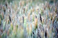 Gröna kornväxter i landskap royaltyfria foton