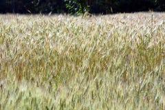 Gröna kornväxter i landskap royaltyfria bilder