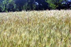 Gröna kornväxter i landskap royaltyfri foto